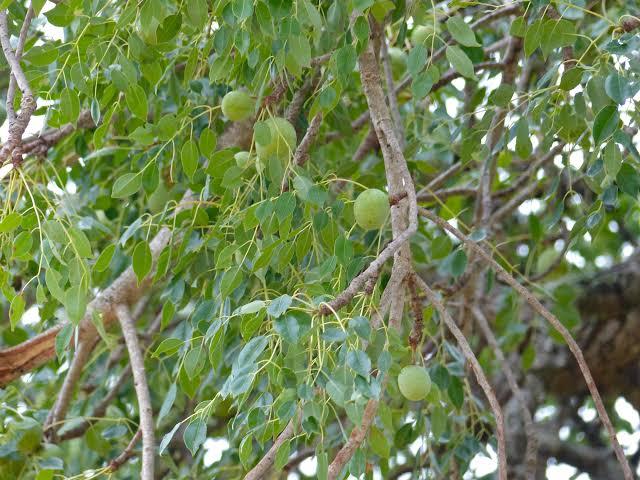 Sclerocarya birrea