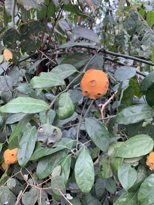 Amazing Health benefits of oruwo leaves and roots (MORINDA LUCIDA).