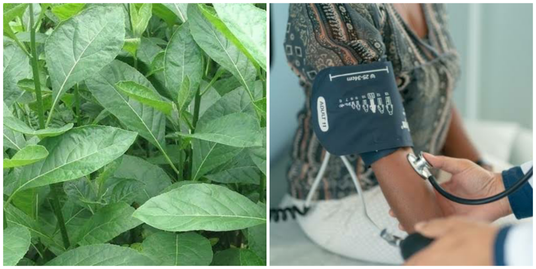Does bitter leaf cure high blood pressure?