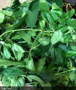 Nutritional value of Ugu leaf (Pumpkin Leaves)